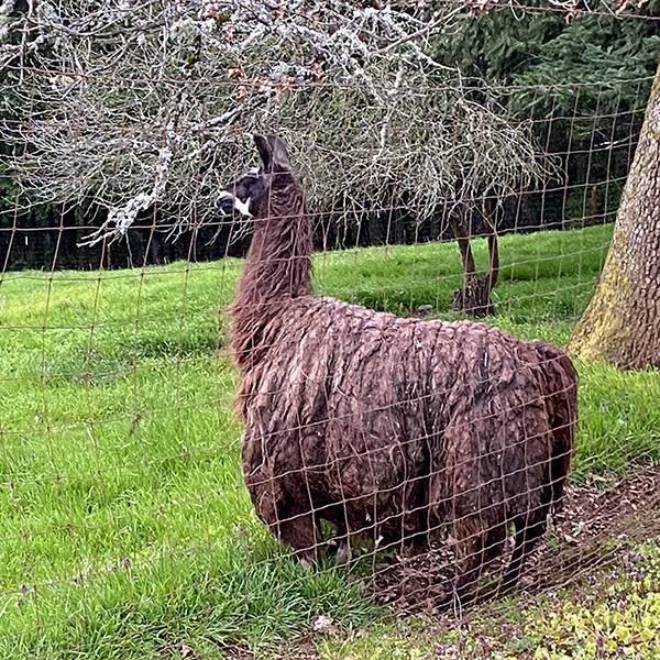 close up image of llama at the adjacent property